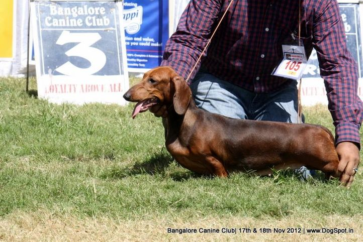 dachshund,ex-105,sw-69,, CHANJI'S FLORENCE, Dachshund Standard- Smooth Haired, DogSpot.in