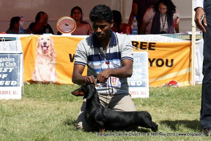 dachshund,ex-107,sw-69,, RAGVI'S SHE IS WILD, Dachshund Standard- Smooth Haired, DogSpot.in