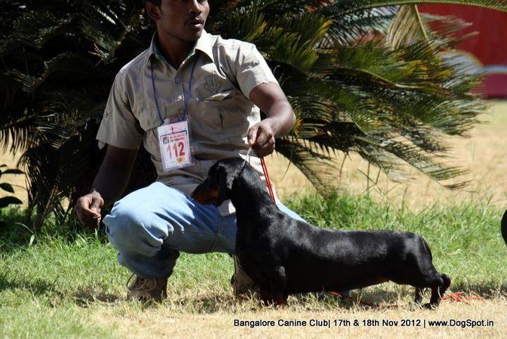 dachshund,ex-112,sw-69,, BLACKFOREST, Dachshund Standard- Smooth Haired, DogSpot.in