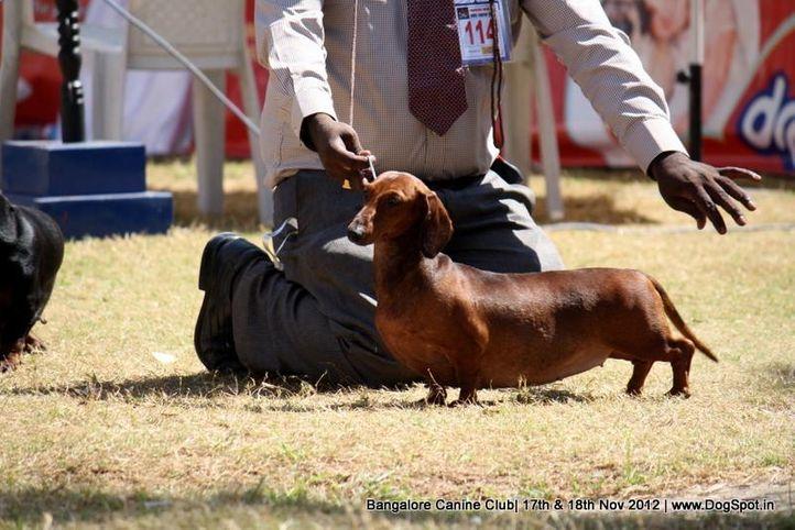 dachshund,ex-114,sw-69,, CHANJI'S WANDA, Dachshund Standard- Smooth Haired, DogSpot.in