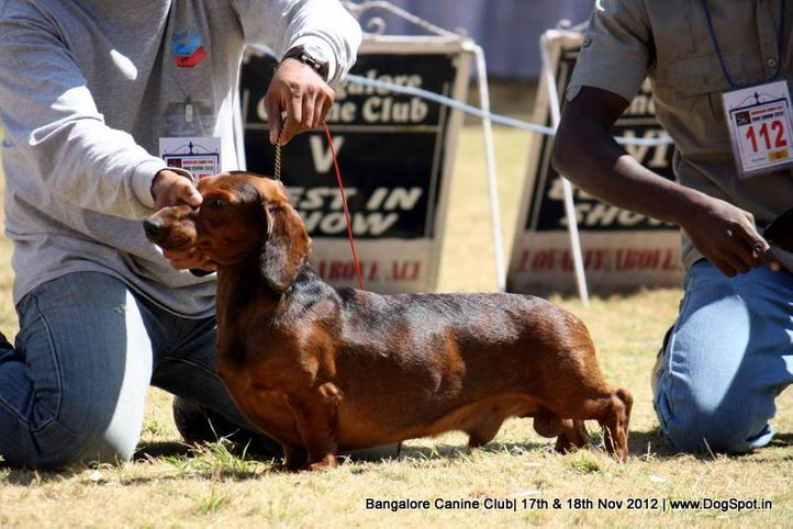 dachshund,ex-117,sw-69,, TOWSLY, Dachshund Standard- Smooth Haired, DogSpot.in