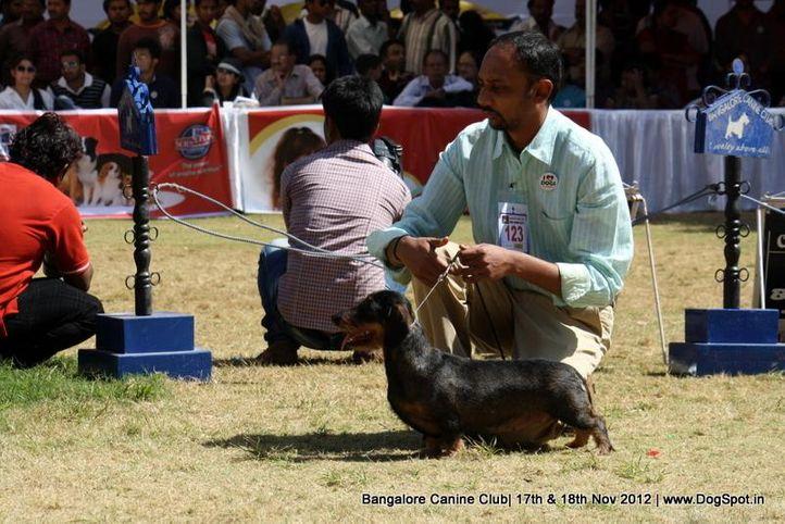 dachshund,ex-123,sw-69,, WINDWARD'S OKIE, Dachshund Standard- Wired Haired, DogSpot.in