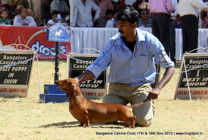 dachshund,sw-69,, Bangalore Dog Show 2012 , DogSpot.in