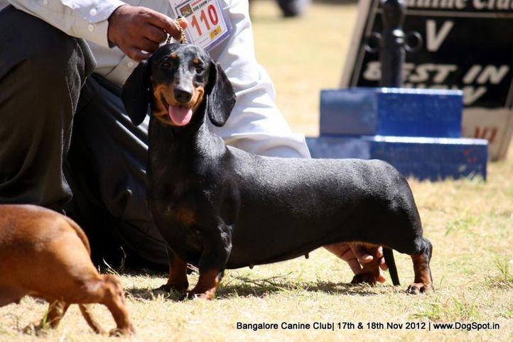 dachshund,ex-110,sw-69,, RAGVI'S DAZZLING SPIRIT, Dachshund Standard- Smooth Haired, DogSpot.in