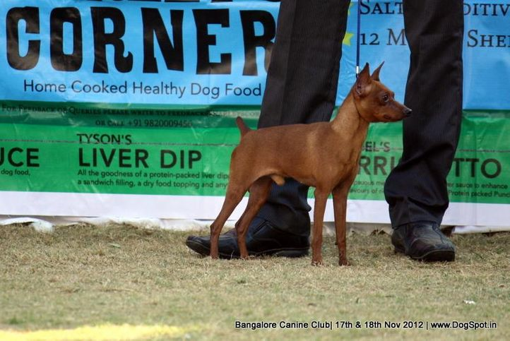 chihuahua,sw-69,, Bangalore Dog Show 2012 , DogSpot.in