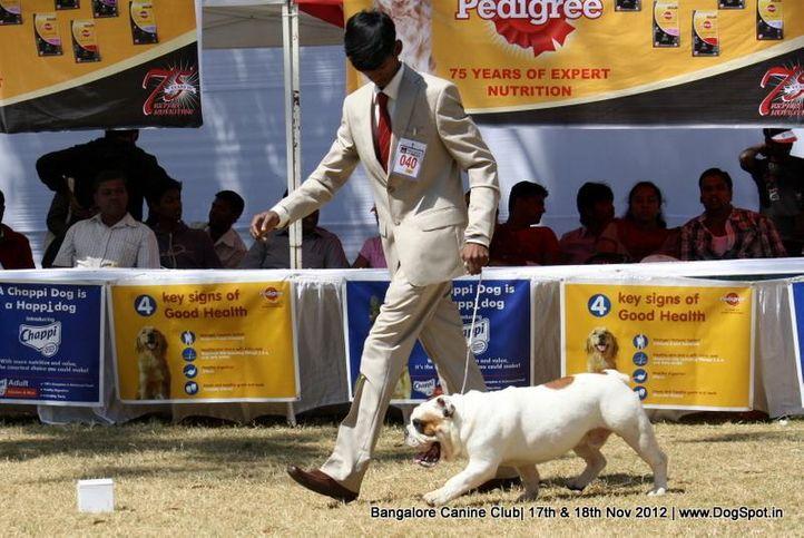 bull dog,ex-40,sw-69,, LUXURY DOGS NEW EDITION, Bull Dog, DogSpot.in