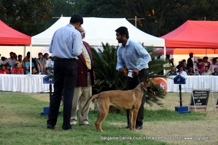 belgian shepherd dog,sw-69,ex-503, STEALTH PAWS ZULURINE, Belgian Shepherd Dog (Malinois), DogSpot.in