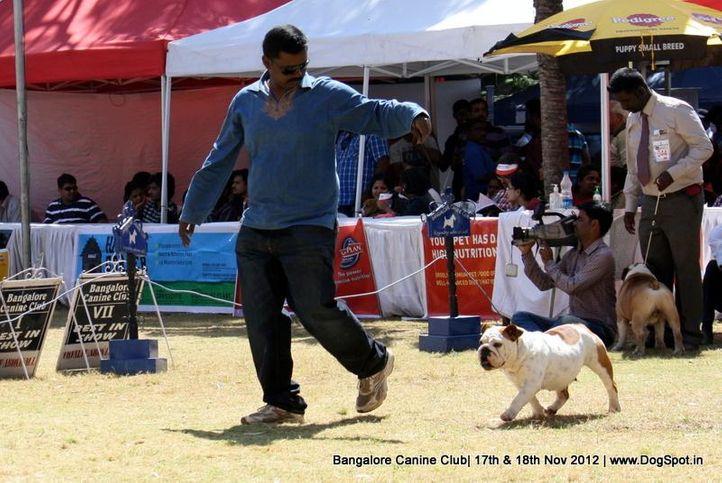 bull dog,ex-43,sw-69,, MARINA, Bull Dog, DogSpot.in