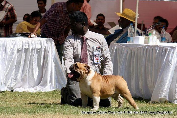 bull dog,ex-44,sw-69,, BIS CH FAITHROTS GLIMMER FRIENDS, Bull Dog, DogSpot.in