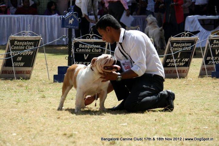 bull dog,ex-46,sw-69,, Bangalore Dog Show 2012 , DogSpot.in