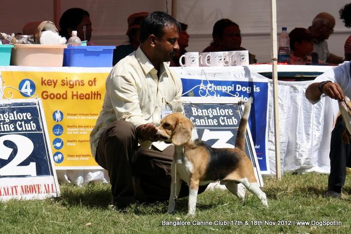 beagle,ex-73,sw-69,, BIGFOOTS POSITIVE, Beagle, DogSpot.in