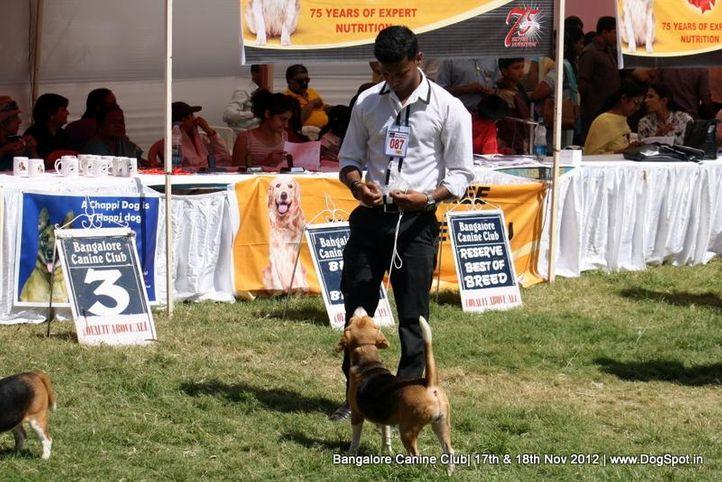 beagle,ex-87,sw-69,, LALIJJS ADALENA KISSED, Beagle, DogSpot.in