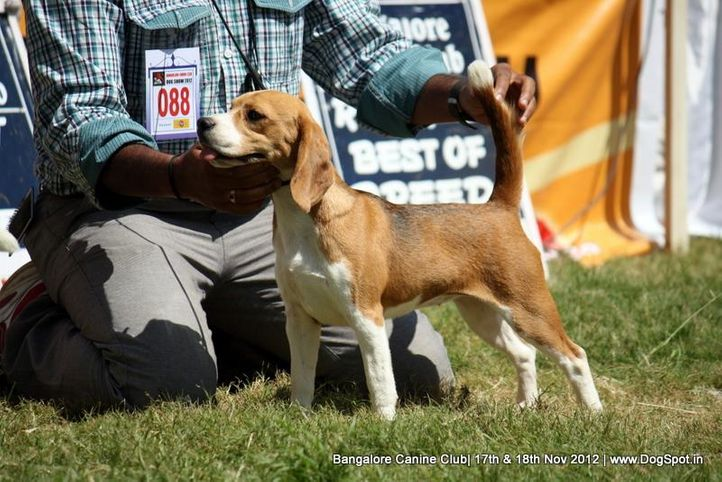 beagle,ex-88,sw-69,, LALIJJ'S AUTHORITATIVE TESTED, Beagle, DogSpot.in