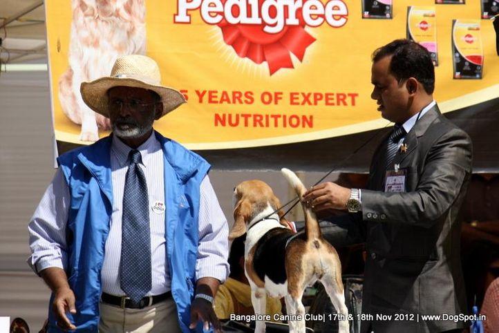 beagle,ex-96,sw-69,, BLUE BELL'S JASSSI, Beagle, DogSpot.in
