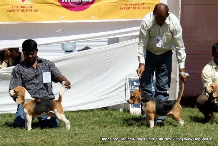 beagle,ex-77,sw-69,, CASPER, Beagle, DogSpot.in