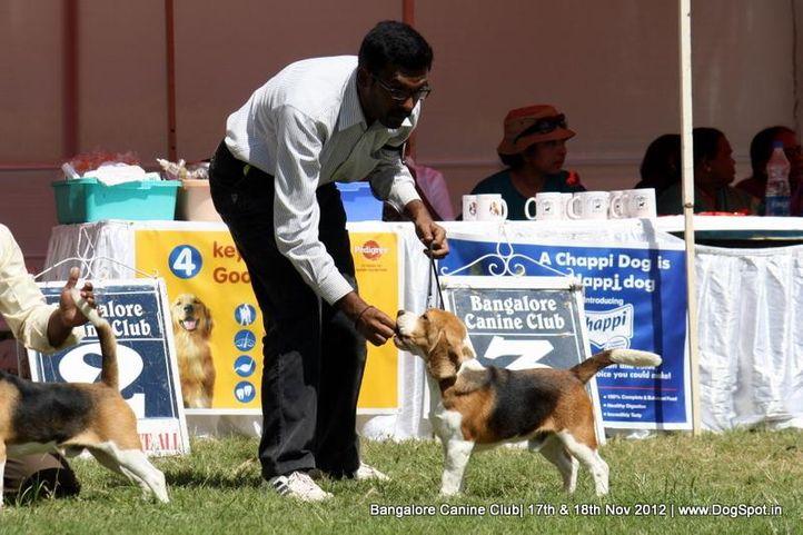beagle,ex-89,sw-69,, LALLIJS ALOSZA SHOWN, Beagle, DogSpot.in