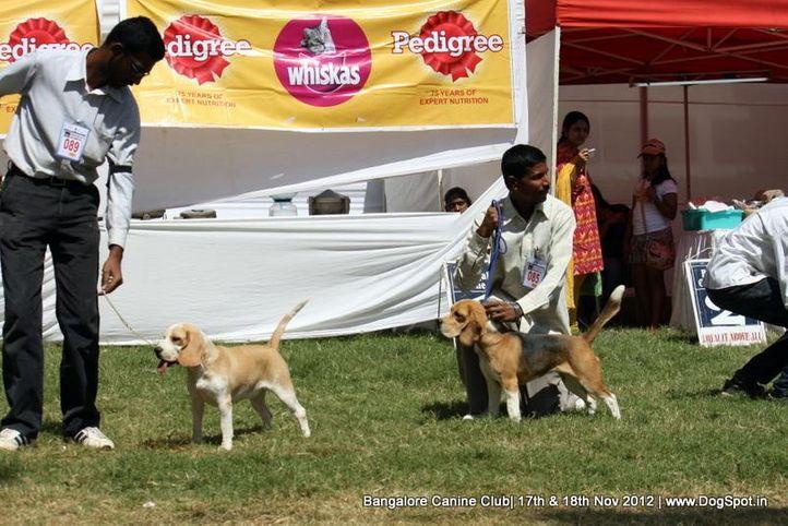 beagle,ex-85,sw-69,, GOLDLANDS BUTTERFLY, Beagle, DogSpot.in