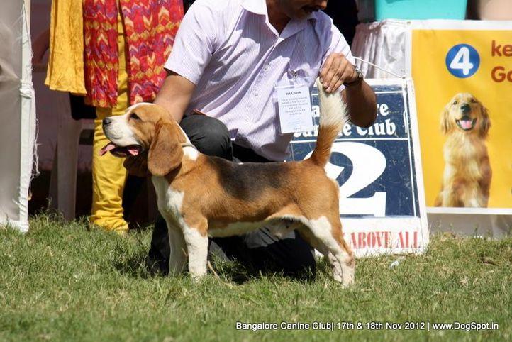 beagle,sw-69,, Bangalore Dog Show 2012 , DogSpot.in