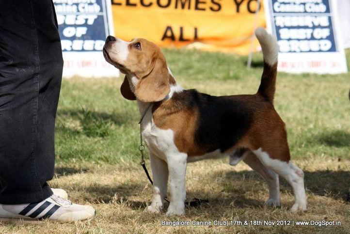beagle,ex-71,sw-69,, IND. CH. GOLDLANDS BLAST MASTER, Beagle, DogSpot.in