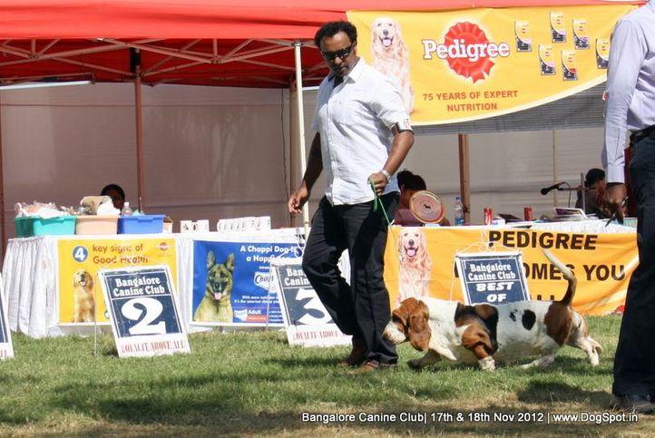 basset hound,sw-69,ex-70, IND CH WINNIE DOS SETE MOINHOS, Basset Hound, DogSpot.in
