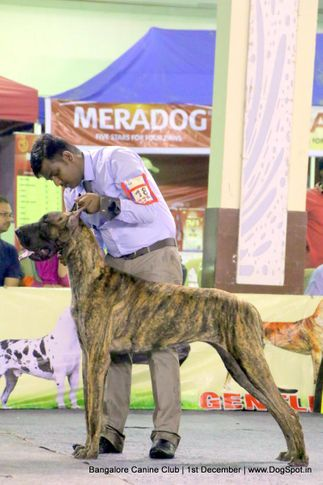 day - 1,great dane,great dane speciality,sw-202,, Bangalore Dog Show 2017, DogSpot.in