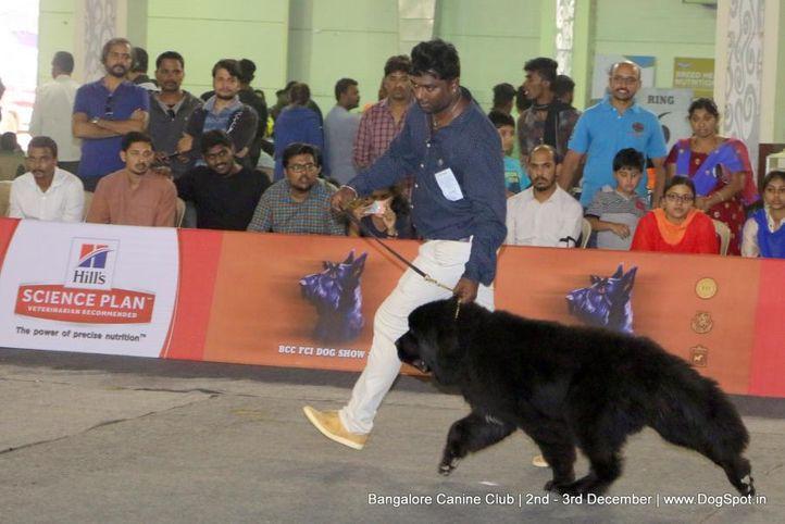 ex-222,newfoundland,sw-202,, Bangalore Dog Show 2017, DogSpot.in