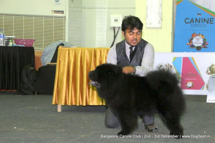 chow-chow,sw-202,, Bangalore Dog Show 2017, DogSpot.in