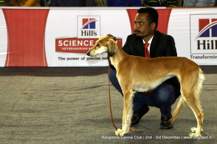 saluki,sw-202,, Bangalore Dog Show 2017, DogSpot.in