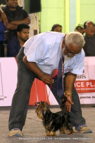 ex-284,sw-202,yorkshire terrier,, Bangalore Dog Show 2017, DogSpot.in