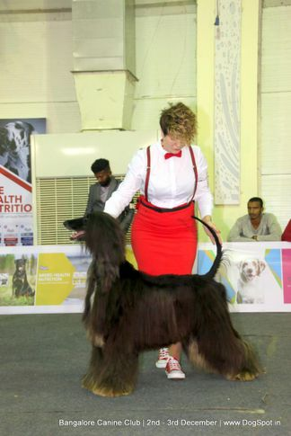 afghan hound,sw-202,, Bangalore Dog Show 2017, DogSpot.in