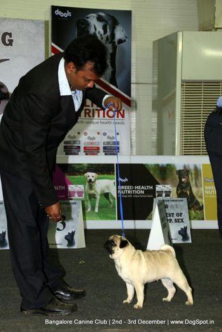 pug,sw-202,, Bangalore Dog Show 2017, DogSpot.in