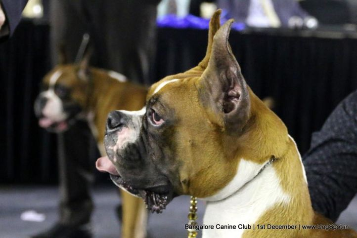 boxer,boxer speciality,day - 1,sw-202,, Bangalore Dog Show 2017, DogSpot.in
