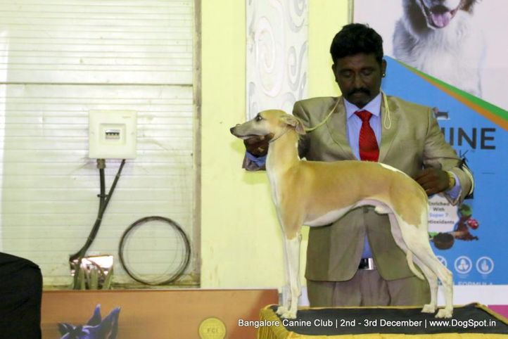 sw-202,whippet,, Bangalore Dog Show 2017, DogSpot.in