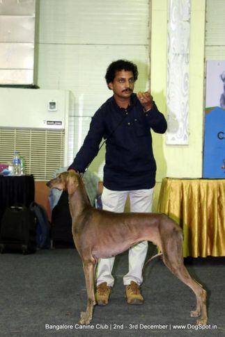 caravan hound,sw-202,, Bangalore Dog Show 2017, DogSpot.in
