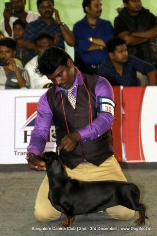 dachshund,sw-202,, Bangalore Dog Show 2017, DogSpot.in