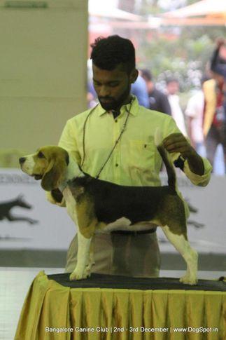 beagle,, Bangalore Dog Show 2017, DogSpot.in