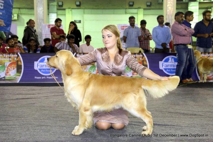 day - 1,golden retriever,golden retriever speciality,sw-202,, Bangalore Dog Show 2017, DogSpot.in