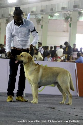 labrador retriever,sw-202,, Bangalore Dog Show 2017, DogSpot.in