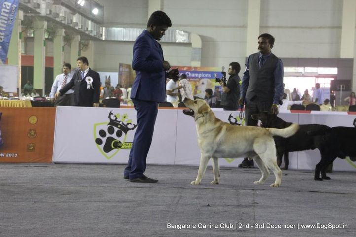 labrador retriever,sw-202,, Bangalore Dog Show 2017, DogSpot.in