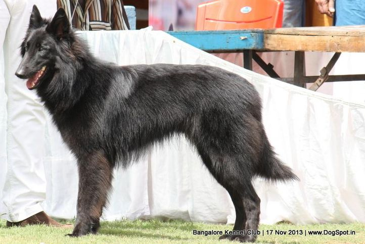 belgian shepherd,ex-386,sw-102,, ZANGO OF NERLAWOODS, Belgian Shepherd Dog (Groenendael), DogSpot.in
