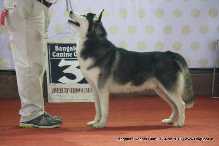 ex-325,siberian husky,sw-102,, DHARMA, Siberian Husky, DogSpot.in
