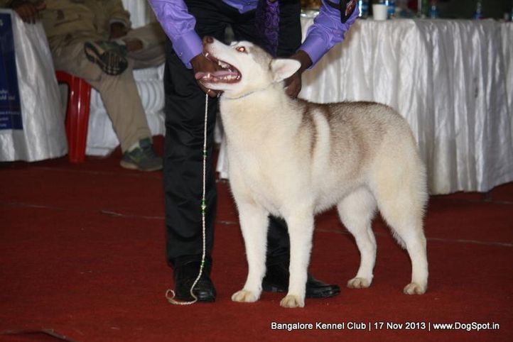 siberian husky,sw-102,, Bangalore Dog Show , DogSpot.in