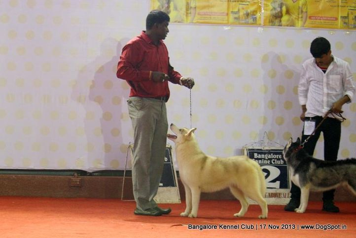 ex-331,siberian husky,sw-102,, Bangalore Dog Show , DogSpot.in