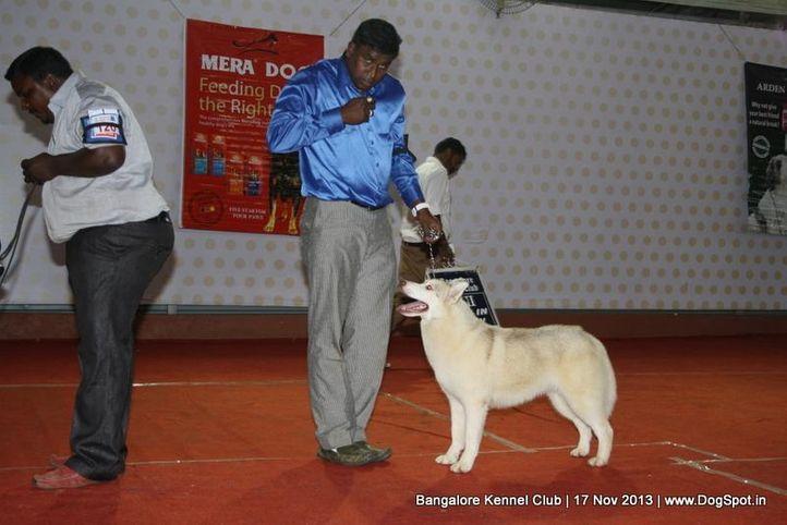 siberian husky,sw-102,, Bangalore Dog Show , DogSpot.in