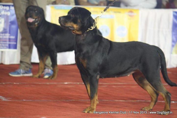 ex-293,rottweiler,sw-102,, ROTTMANIACS CHIQUITA, Rottweiler, DogSpot.in