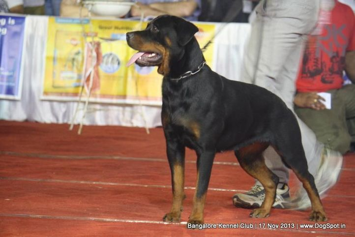 ex-292,rottweiler,sw-102,, ROOPIKA'S FAROH, Rottweiler, DogSpot.in