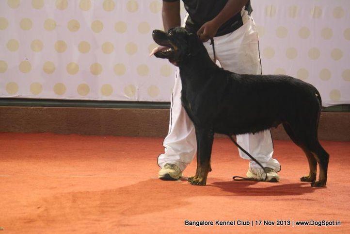 ex-294,rottweiler,sw-102,, ZORRO'S VANDA, Rottweiler, DogSpot.in