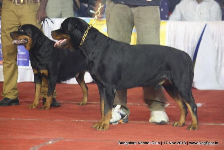 rottweiler,sw-102,, Bangalore Dog Show , DogSpot.in
