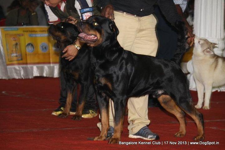 ex-279,rottweiler,sw-102,, SANYADORS MATADOR O RED, Rottweiler, DogSpot.in
