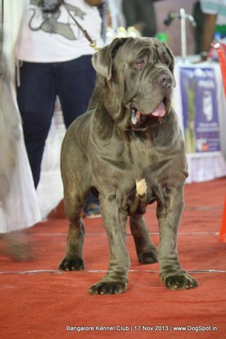 neapolitan mastiff,sw-102,, Bangalore Dog Show , DogSpot.in